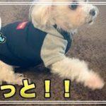 可愛いマルチーズ犬´•ﻌ•`🐾 おねだりのんちゃん♪