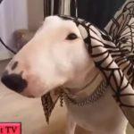 笑わないようにしてください・最高におもしろブルテリア犬のハプニング集