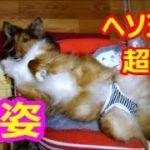 【昇天シェルティ】思わず笑ったシェルティのオモシロ寝姿ベスト3☆ 生きてるのかな?