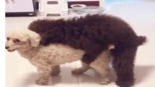 すごい! 犬の腰使いが(笑)   AWESOME!!!  Dog is so powerful