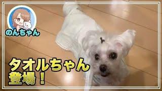 タオルかぶったカワイイわんこ 可愛いマルチーズ犬´•ﻌ•`🐾