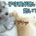 子守唄でぐっすりな犬? ★24時間対応★犬の保育園 11月25日