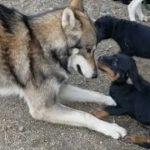仔犬と優しく遊ぶ狼犬 しかしその後…