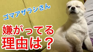 【賢い犬】なんと⁈わかりやすいチワワのくーちゃん
