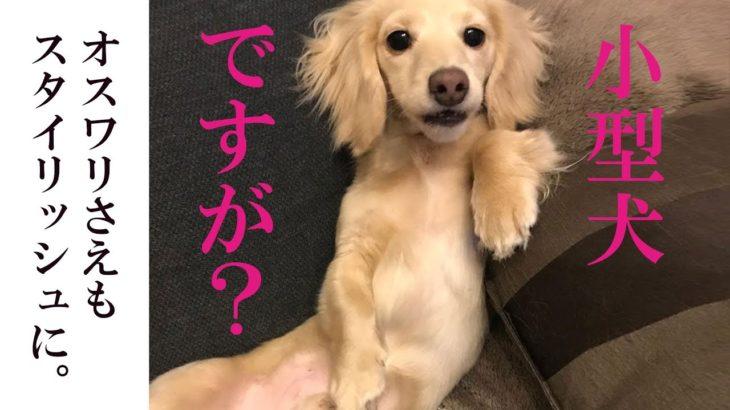 体は小さいが心は大きいゾ!可愛い小型犬魅力まとめ映像