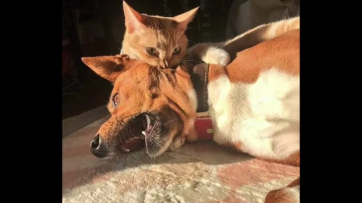 「おもしろ犬と猫」思わずに笑っちゃう犬と猫の喧嘩・どっちが強いのか
