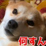 こんな柴犬ハナを落とすなんてチョロいぜ shiba inu is sleepy