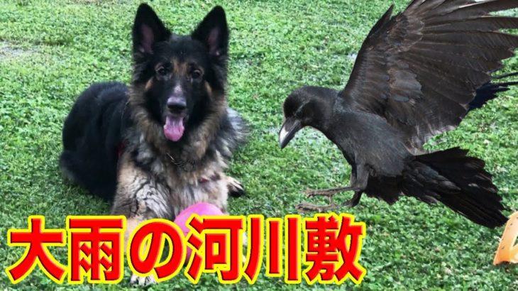 カラスと追い駆けっこ・大雨の荒川河川敷でのシェパード犬