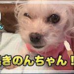 起きたてからカワイイわんこ 可愛いマルチーズ犬´•ﻌ•`🐾