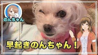 起きたてからカワイイわんこ 可愛いマルチーズ犬´•ﻌ•`