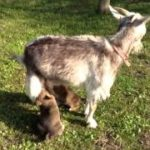 ヤギの乳が大好きな子犬たち