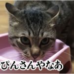 一緒に暮らし始めたヤング猫ちゃんたちが恋に落ちていく!ラブラブ動画。