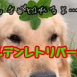 【大型犬】on、offがカワイイ、ゴールデンレトリバーのれお