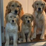 「おもしろい犬」アホかわいいゴールデンレトリバーのハプニング, 失敗動画集