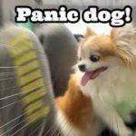 💖突然の雷雨にびっくりしてパパに飛びつくシニア犬チワワ【かわいい犬】【panic dog】【cute dog】【ペット動画】