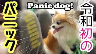 突然の雷雨にびっくりしてパパに飛びつくシニア犬チワワ【かわいい犬】【panic dog】【cute dog】【ペット動画】