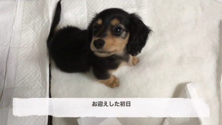 【Dog】ミニチュアダックスフンドのジョン豹変  Sudden change