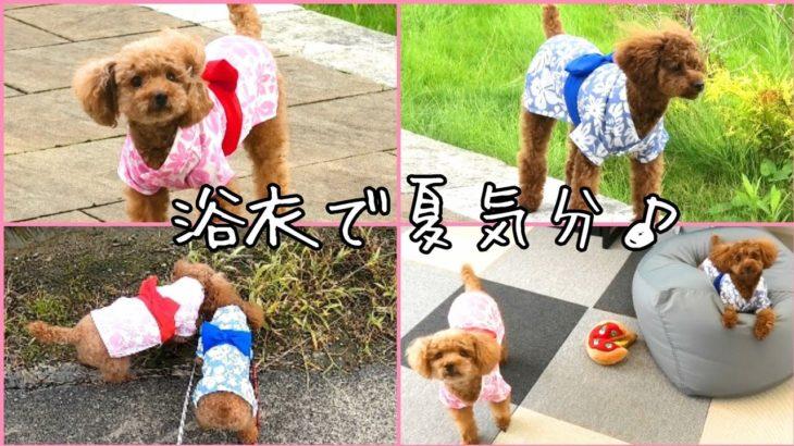 ダイソーの浴衣が可愛い!!! トイプードルのTaruto&Rasuku