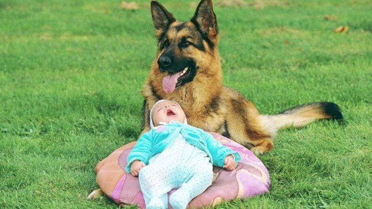 「泣けるほど感動」人間の子供を必死で守るジャーマンシェパード犬たち