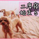 二度寝から始まる一日!おまけも見てね♪ トイプードルのTaruto&Rasuku