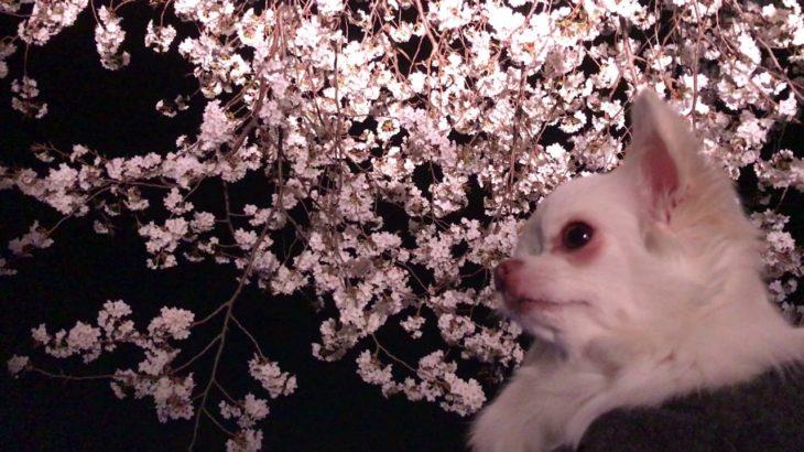 【犬と夜桜】チワワのコハクさん!はじめての花見だわん/【Dog and night sakura】 Chihuahua's amber! First time sakura viewing bowl