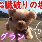 トイプードル💗ドッグランではしゃぐ愛犬がカワイイ【toy poodle】ディニーズ・ガーデン