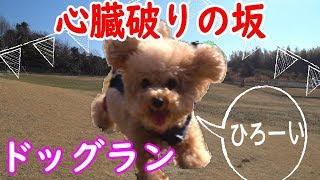 トイプードルドッグランではしゃぐ愛犬がカワイイ【toy poodle】ディニーズ・ガーデン