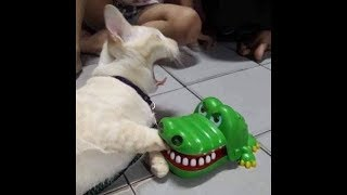 「絶対笑う」最高におもしろ犬,猫,動物のハプニング, 失敗画像集 #410