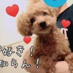 パパが大好きすぎて、しっぽフリフリが止まらない♡ トイプードルのTaruto&Rasuku