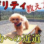 トイプードル ゆず💗驚きの成果!!【犬 アジリティ トレーニング】toypoodle