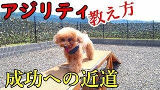 トイプードル ゆず驚きの成果!!【犬 アジリティ トレーニング】toypoodle