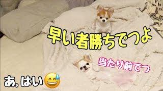【チワワと就寝】飼い主が寝るスペースを絶対に空けてくれない子犬チワワとシニア犬チワワ