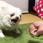 にぎりっぺに怒る犬!たいがいにしときーよ!?-AngryDog Stop it