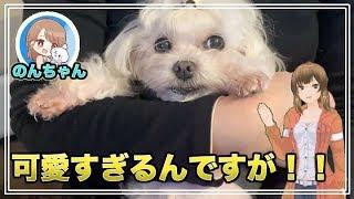 すごーくカワイイ動画撮れましたW 可愛いマルチーズ犬´•ﻌ•`🐾