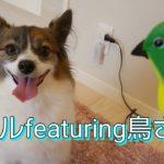 パピヨン犬メル 新しい仲間鳥のミドちゃんと歌う Humming Dog bird