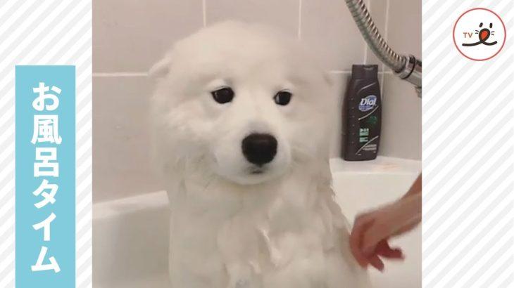 お風呂に入るサモエド犬🚿 その何ともいえない表情がかわいい😶❣️【PECO TV】