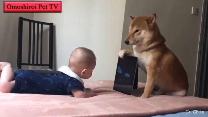犬と赤ちゃんの戦い・犬に怒られた赤ちゃんの面白い動画・犬と赤ちゃんのハプニング #3