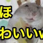 かわいいハムスターのおもしろハプニングまとめwww【2016最新】