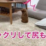 【ビックリ尻もち!】可愛いしりもちをつく子犬「トイプードルのコロン」