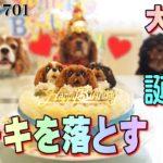 ハプニング!犬用誕生日ケーキを落とす701|おもしろいかわいい動物ペット動画