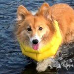 いぬかきロクさん / Roku swim & walk 20190725 dog paddle コーギー 犬 ワンパチ Yamper