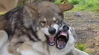 バトルする狼犬は怖い?可愛い??