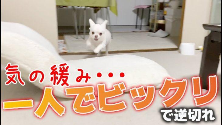 ポヤ~ッと廊下に出たらママが居て一人ビックリする犬!ついでに逆切れチワワのコハク