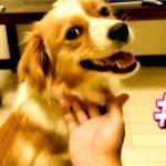 日本一カワイイ雑種犬ワワの日常その1  ペットの癒し