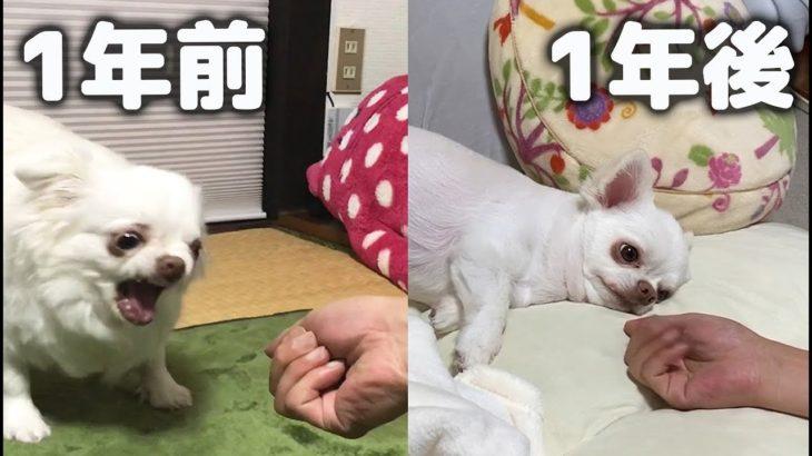 にぎりっぺに怒る犬②!1年後チワワのコハクは許してくれた?