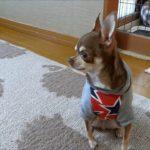 スムースチワワ愛犬チロル☆家を守る犬