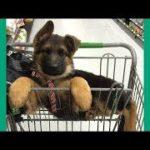 2019「おもしろ犬」かわいいシェパード犬の超おもしろいハプニング, 動画集
