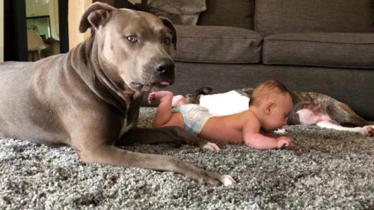 彼らは本当に最も危険な犬ですか?ピットブルが赤ちゃんの面倒をみる様子がかかわいい#2