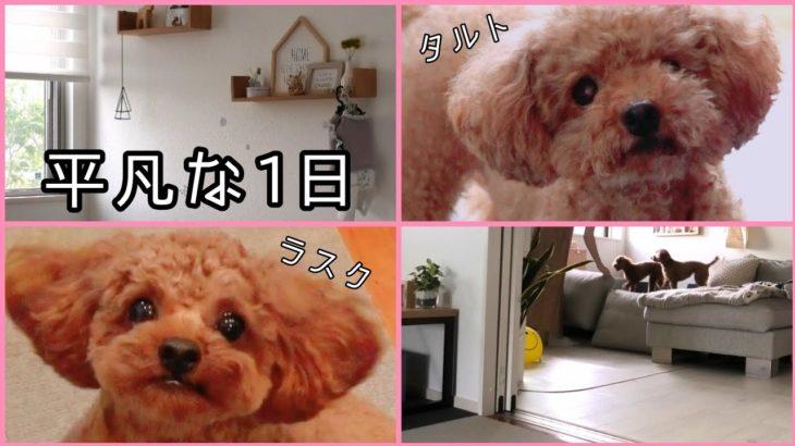 【一日密着】多頭飼いのリアルな1日!予定のない日♪ トイプードルのTaruto&Rasuku