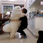 「甘えん坊犬」自分を赤ちゃんのように思っているサモエド犬・抱っこして♡ 飼い主に甘えるサモエド犬が超可愛い